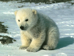 Les Ours Blanc !